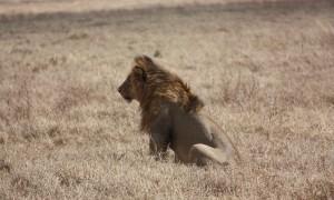 Safari i Ngorongoro og Serengeti