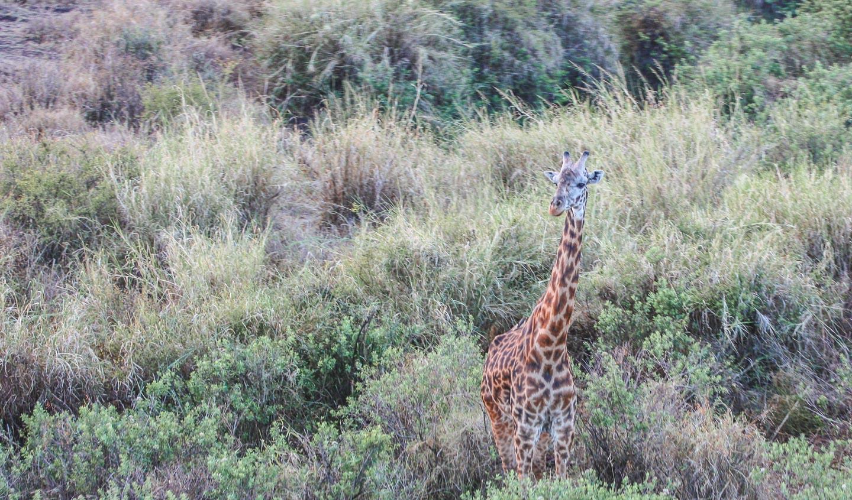 Giraff Serengeti