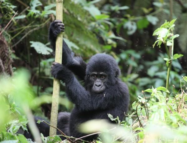Magiske fjellgorillaer i Uganda