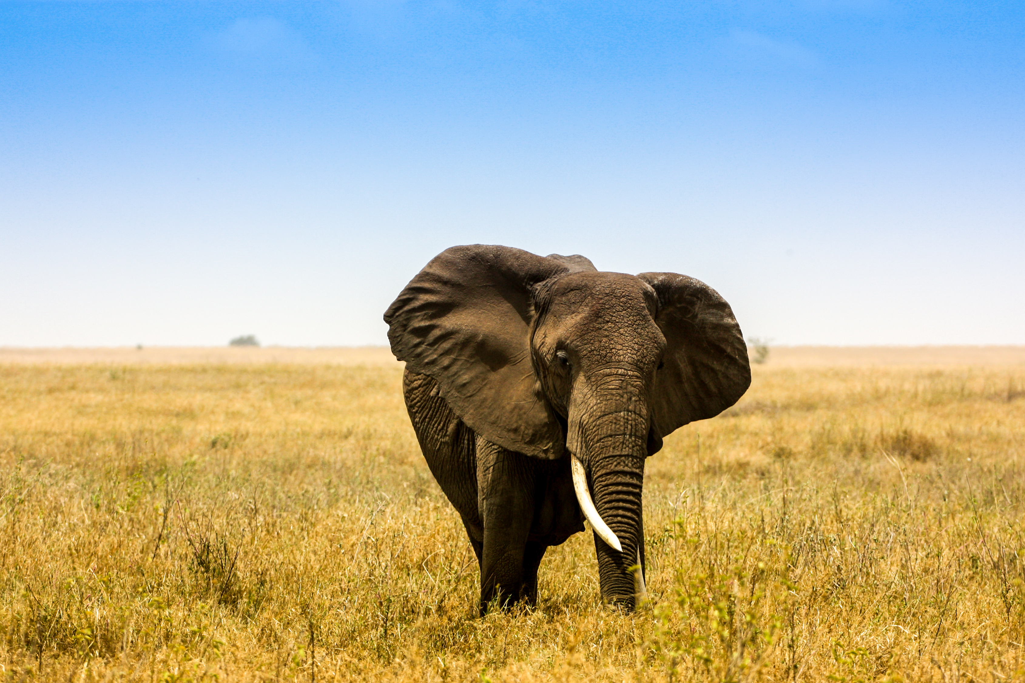 Elefant, Serengeti