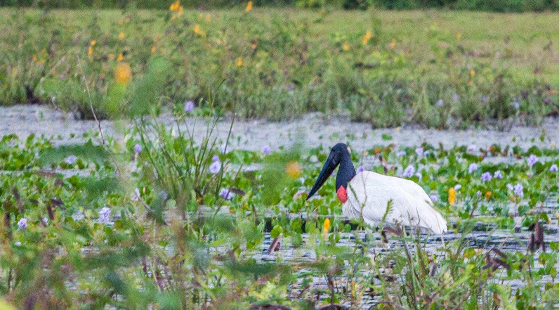 Jabirustork, Pantanal