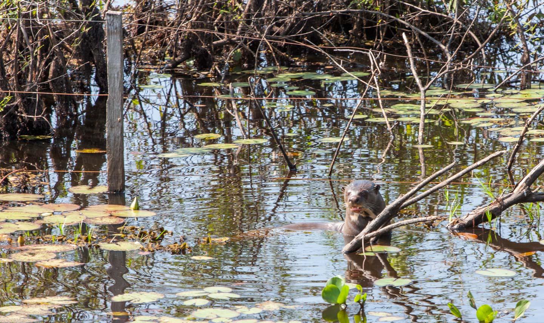 Kjempeoter, Pantanal