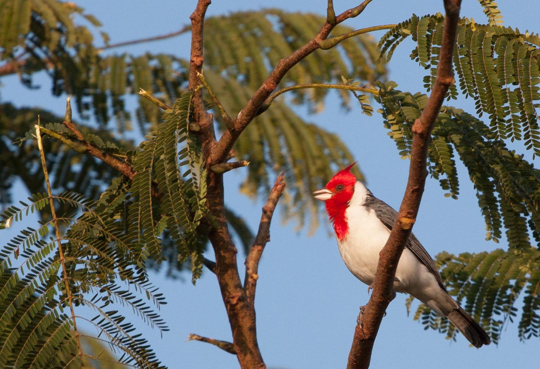 Gråkardinal, Pantanal