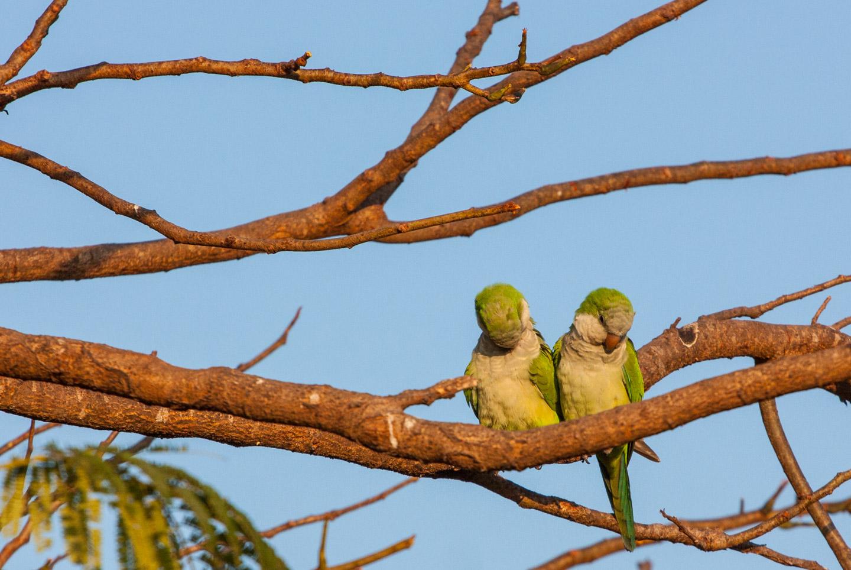 Munkeparakitt, Pantanal