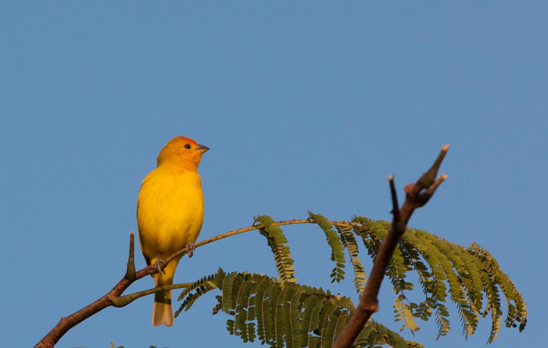 Fugl, Pantanal