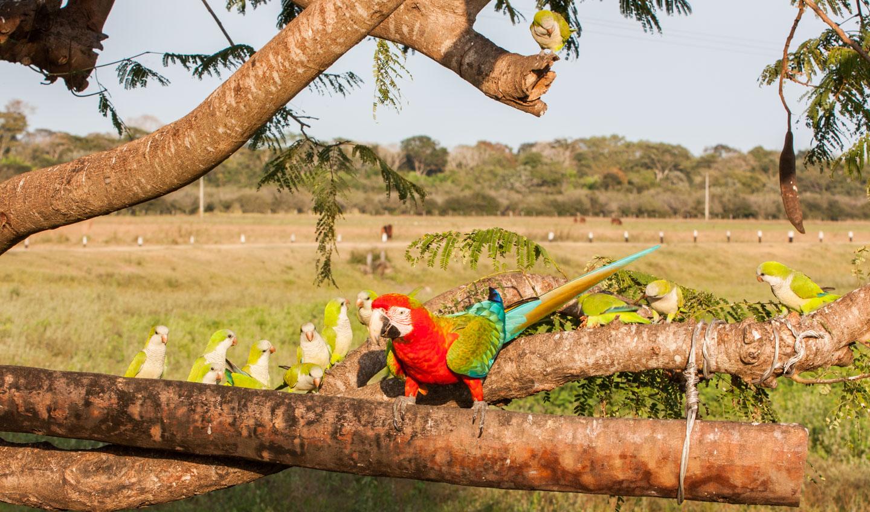 Grønnvingerødara og munkeparakitter, Pantanal