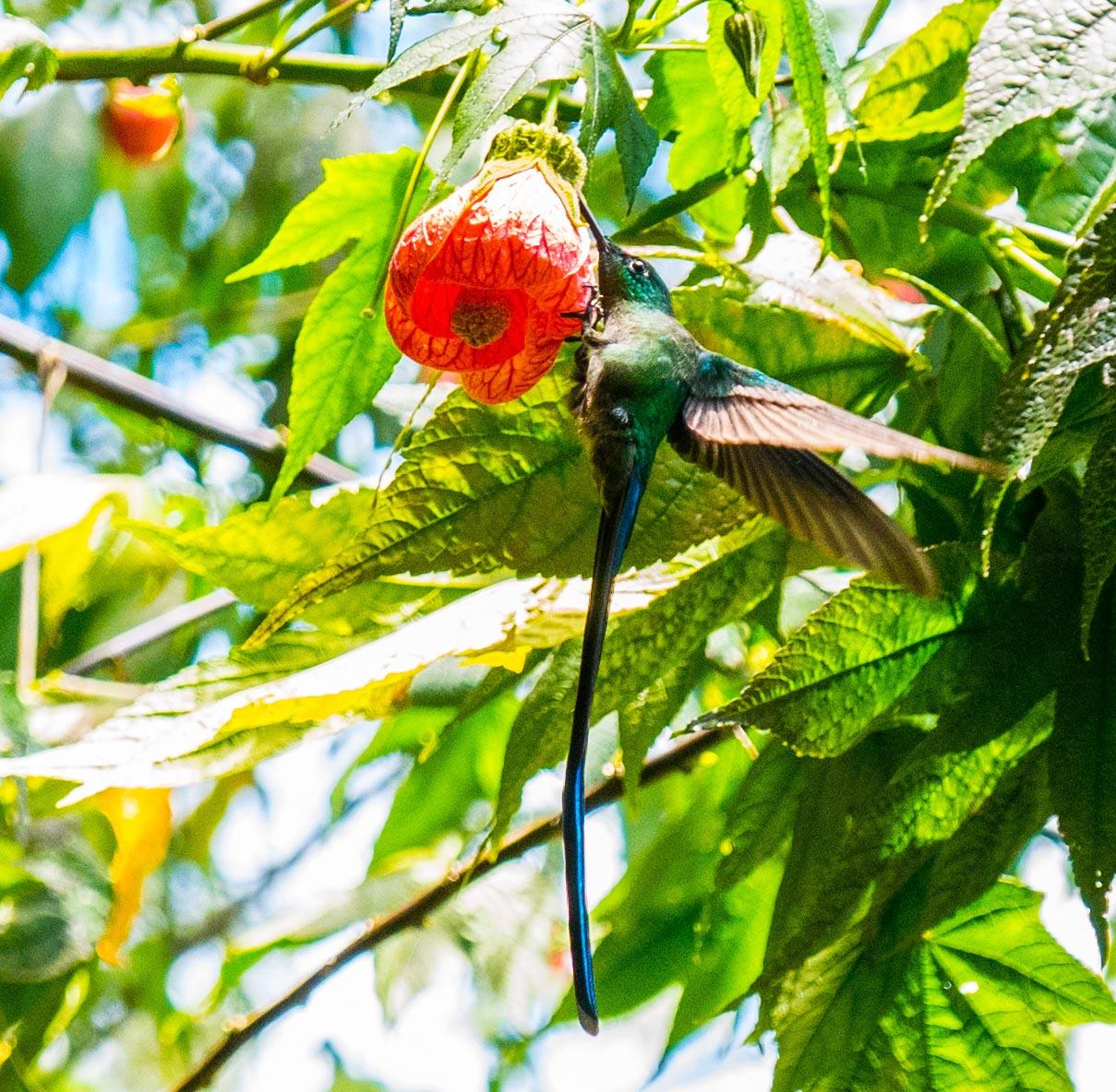 Valle de Cocora Salento kolibri