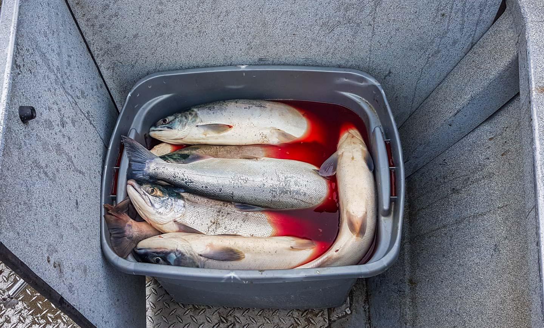 Laksefiske Alaska