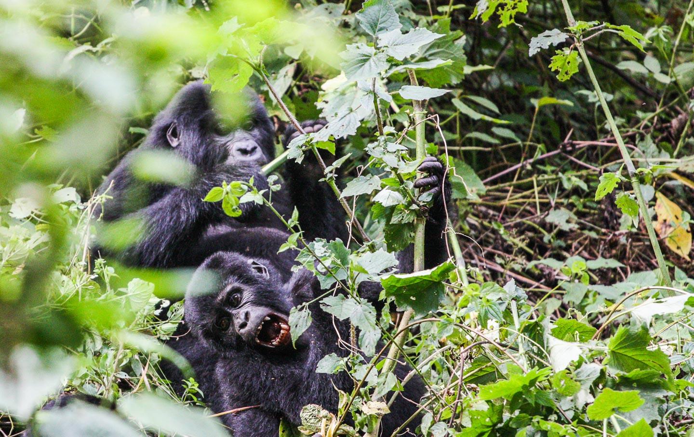 Fjellgorilla, Bwindi Nasjonalpark, Uganda
