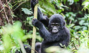 Magisk møte med fjellgorillaene i Uganda