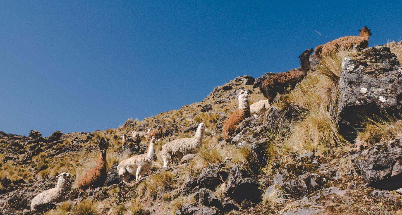 Lamaer langs Lares Trek i Peru